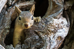 Squirrel looking out from tree hole. A squirrel peeking out from a hole in a tree royalty free stock images