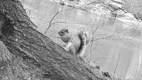 Squirrel. Looking for some food Royalty Free Stock Photo