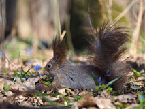 Squirrel looking for something at the blue flowers at forest. The Squirrel looking for something at the blue flowers at forest royalty free stock photos
