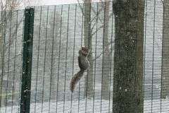 Squirrel slick. The squirrel is looking for something tasty royalty free stock photos