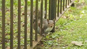 Squirrel looking to you. A squirrel inside a private garden tryning to reach food in Bath Spa, Uk Stock Photography