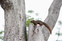 A squirrel looking on the tree Stock Photos