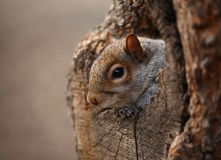 Squirrel on lookout. Closeup of a squirrel on lookout Royalty Free Stock Images
