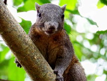 The squirrel Royalty Free Stock Images