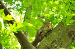 A squirrel looks at the camera Stock Image