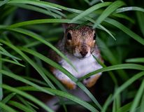 Squirrel looks out of tall grass grass. royalty free stock images