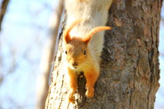 squirrel looks from a tree royalty free stock photos