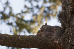 Squirrel in love. On  Park, Toronto Royalty Free Stock Photography