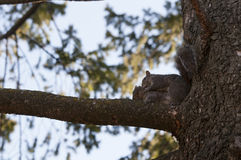 Squirrel in love. On  Park, Toronto Royalty Free Stock Photo