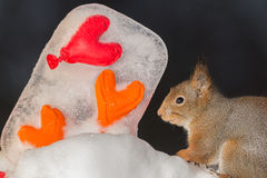 Squirrel in love Royalty Free Stock Photos