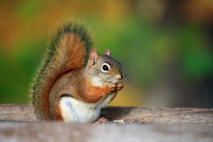 Squirrel. The lovely squirrel is eating food stock images