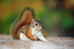 Squirrel. The lovely squirrel is seeking food stock photo