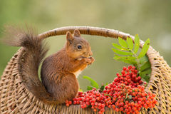 Squirrel loves berries Stock Photography