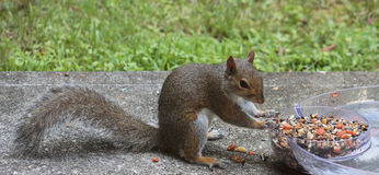 Squirrel- Lunch is served Royalty Free Stock Photos