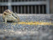 Squirrel. This is the lunch time of squirrel Royalty Free Stock Image