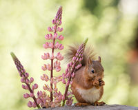 Squirrel and lupine Royalty Free Stock Photo