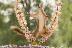 Squirrel between 2 lupines reaching out Royalty Free Stock Images