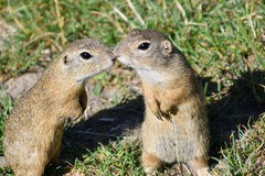 Squirrel lurking and eating in the grass. Squirrel suslik lurking and eating in the grass stock image