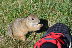Squirrel lurking and eating in the grass. Squirrel suslik lurking and eating in the grass royalty free stock image