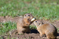 Squirrel lurking and eating in the grass Stock Images