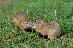 Squirrel lurking and eating in the grass. Squirrel suslik lurking and eating in the grass stock images