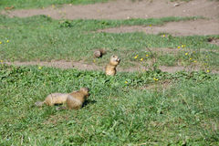 Squirrel lurking and eating in the grass. Squirrel suslik lurking and eating in the grass stock photo