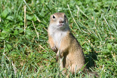 Squirrel lurking and eating in the grass. Squirrel suslik lurking and eating in the grass royalty free stock photos