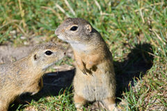 Squirrel lurking and eating in the grass. Squirrel suslik lurking and eating in the grass stock photography