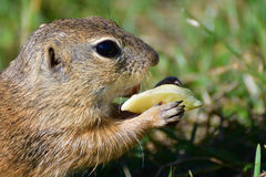 Squirrel lurking and eating in the grass. Squirrel suslik lurking and eating in the grass stock photos