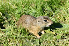 Squirrel lurking in the grass Royalty Free Stock Photography