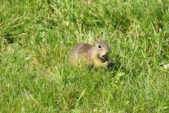 Squirrel lurking in the grass Royalty Free Stock Images