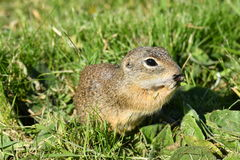 Squirrel lurking in the grass Stock Image