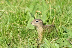 Squirrel lurking in the grass Royalty Free Stock Photo