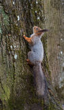 Squirrel lurking on a tree trunk. Stock Photo