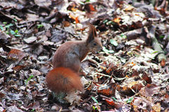 Squirrel Lviv. Picture taken in the Park of Culture in Lviv Stock Image