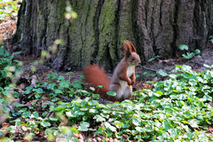 Squirrel Lviv. Picture taken in the Park of Culture in Lviv Royalty Free Stock Photo