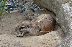 Squirrel is lying on the rock. And wood log near to it Stock Photos