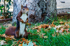 Squirrel in Madrid. A cute squirrel found at El Retiro park, Madrid (Spain, Europe Royalty Free Stock Photo