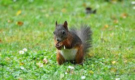 Squirrel, Mammal, Fauna, Fox Squirrel Royalty Free Stock Images