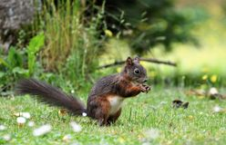 Squirrel, Mammal, Fauna, Fox Squirrel Royalty Free Stock Photos
