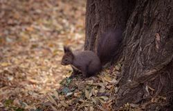 Squirrel, Mammal, Fauna, Fox Squirrel Royalty Free Stock Image