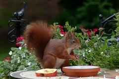 Squirrel, Mammal, Fauna, Rodent Royalty Free Stock Image