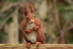 Squirrel, Mammal, Fauna, Rodent Stock Photography