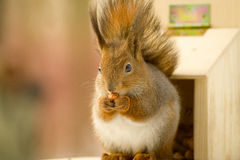 Squirrel at a manger Royalty Free Stock Photos