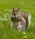 Squirrel on a meadow Stock Images