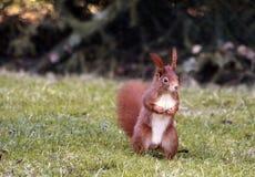 Squirrel on meadow Stock Photos