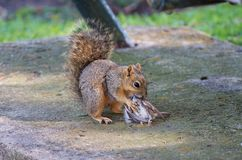Squirrel Meal Stock Images