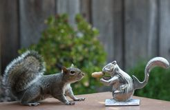 Squirrel meets squirrel. This was a hungry squirrel but wasn't sure if it was safe to get the peanut Stock Image