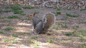 Squirrel Mischief royalty free stock image