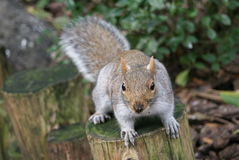Squirrel model Stock Image
